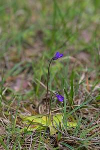 Pinguicula vulgaris, Tätört, Lentibulariaceae, Tätörtsväxter