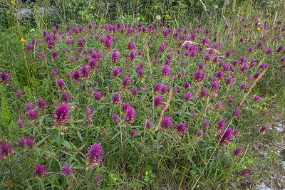 Melampyrum arvense, Pukvete, Scrophyllariaceae, Lejongapsväxter
