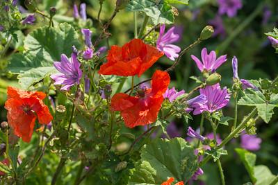 Malva sylvestris, Rödmalva, Malvaceae, Malvaväxter, Papaver rhoeas, Kornvallmo, Papaveraceae, Vallmoväxter