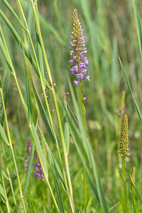 Gymnadenia conopsea, Brudsporre, Orchidaceae, Orkidéer