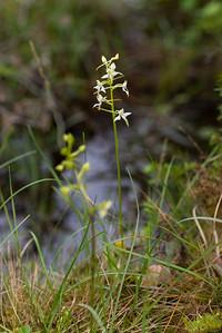 Platanthera chlorantha, Grönvit nattviol, Orchidaceae, Orkidéer