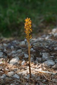 Neottia nidus-avis, Nästrot, Orchidaceae, Orkidéer