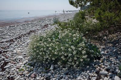 Crambe maritima, Strandkål, Brassicaceae, Korsblommiga