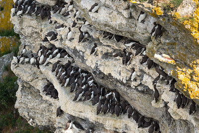 Common murre, Uria aalge, Sillgrissla