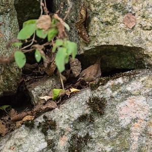 Winter Wren, Troglodytes troglodytes, Gärdsmyg