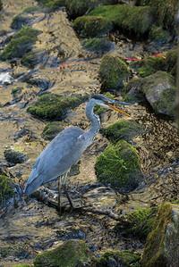 Grey Heron, Ardea cinerea, Gråhäger
