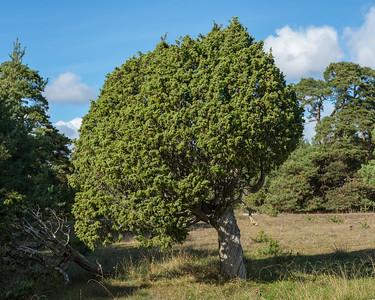 Juniperus communis, En, Cupressaceae, Cypressväxter