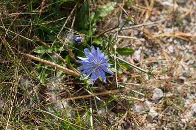 Cichorium intybus, Cikoria, Asteraceae, Korgblommiga