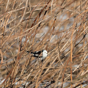 Long-tailed Tit, Aegithalos caudatus, Stjärtmes