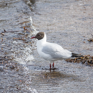 Black-headed Gull, Larus ridibundus, Skrattmås