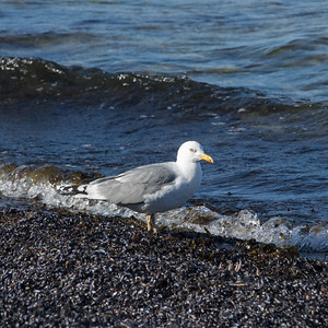 European Herring Gull, Larus argentatus, Gråtrut