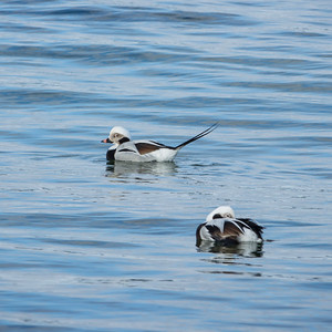 Long-tailed Duck, Clangula hyemalis, Alfågel