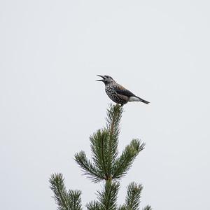 Spotted Nutcracker, Nucifraga caryocatactes, Nötkråka