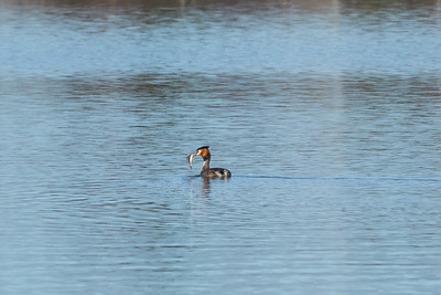 Great Crested Grebe, Podiceps cristatus, Skäggdopping