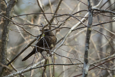 Common Blackbird, Turdus merula, Koltrast