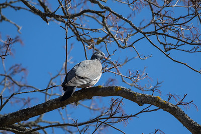 Common Wood Pigeon, Columba palumbrus, Ringduva