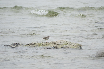Common Redshank, Tringa totanus, Rödbena