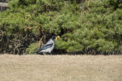 Hooded Crow, Corvus cornix, Kråka
