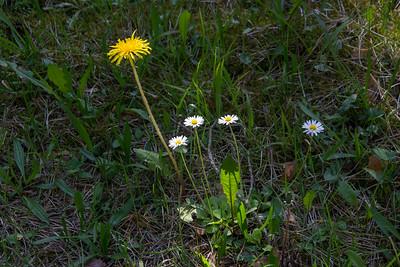 Bellis perennis, Tusensköna, Asteraceae, Korgblommiga