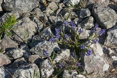 Polygala amarella, Rosettjungfrulin, Polygalaceae, Jungrulinsväxter