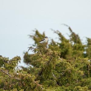 Oenanthe oenanthe, Stenskvätta, Northern Wheatear