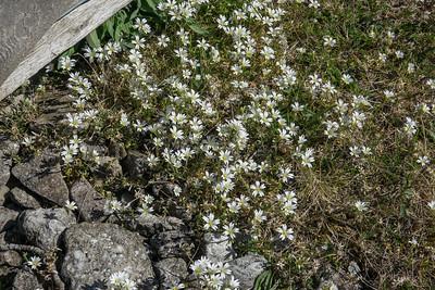 Cerastium arvense, Fältarv, Caryophyllaceae, Nejlikväxter