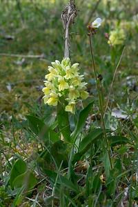 Dactylorhiza sambucina, Adam och Eva,  Orchidaceae, Orkidéer