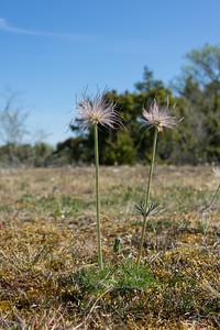 Pulsatilla pratensis, Fältsippa Ranunculaceae, Ranunkelväxter