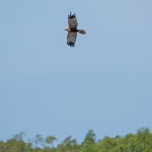 Circus aeruginosus, Brun kärrhök, Western Marsh-Harrier