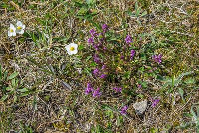Polygala amarella, Rosettjungfrulin, Polygalaceae, Jungfrulinväxter