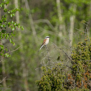 Lanius collurio, Törnskata, Red-backed Shrike