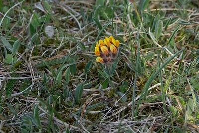 Anthyllis vulneraria, Getväppling, Fabaceae, Ärtväxter
