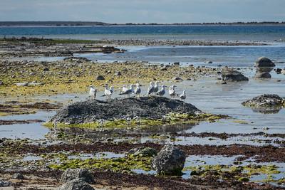 Larus argentatus, Gråtrut, European Herring Gull