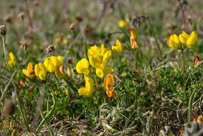 Lotus corniculatus, Käringtand, Fabaceae, Ärtväxter