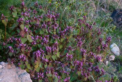 Lamium purpureum, Rödplister Lamiaceae, Kransblommiga