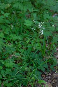 Sanicula europaea, Sårläka, Apiaceae