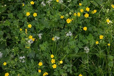 Ranunculus acris, Vanlig smörblomma, Ranunculaceae, Allium ursinum, Ramslök, Amaryllidaceae