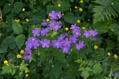 Geranium sylvaticum, Midsommarblomster, Skogsnäva, Geraniaceae