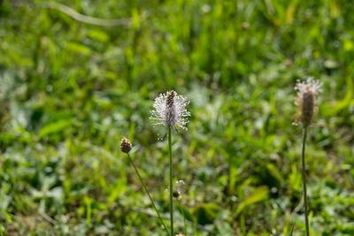 Rödkämpar, Plantago media, Plantaginaceae