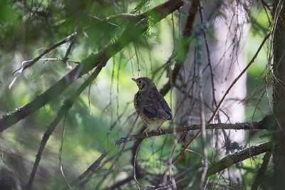 Turdus philomelos, Taltrast, Song Thrush