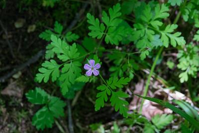 Geranium robertianum, Stinknäva, Geraniaceae, Omberg