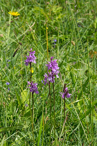 Dactylorhiza maculata ssp. fuchsii, Skogsnycklar, Orchidaceae