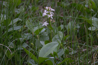 Menyanthes trifoliata, Vattenklöver, Menyanthaceae, Vattenklöverväxter