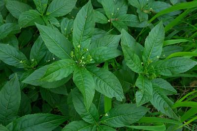 Mercurialis perennis, Skogsbingel, Euphorbiaceae, Omberg