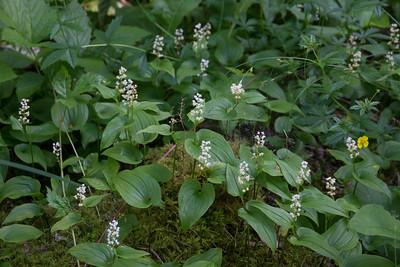 Maianthemum bifolium, Ekorrbär, Asparagaceae