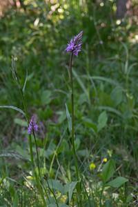Dactylorhiza maculata ssp. fuchsii, Skogsnycklar, Orchidaceae, Orkideer