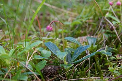 Chimaphila umbellata, Ryl, Ericaceae, Ljungväxter