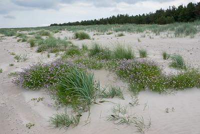 Cakile maritima ssp. baltica, baltisk marviol, Brassicaceae, Korsblommiga