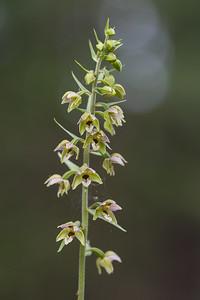 Epipactis helleborine, Skogsknipprot, Orchidaceae