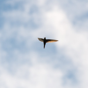 Apus apus, Tornseglare, Common Swift